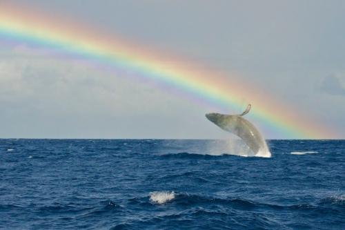 Rainbow breach of a humpback whale