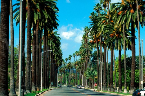 Palm tree lined street in Beverly Hills. Los Angeles, California.